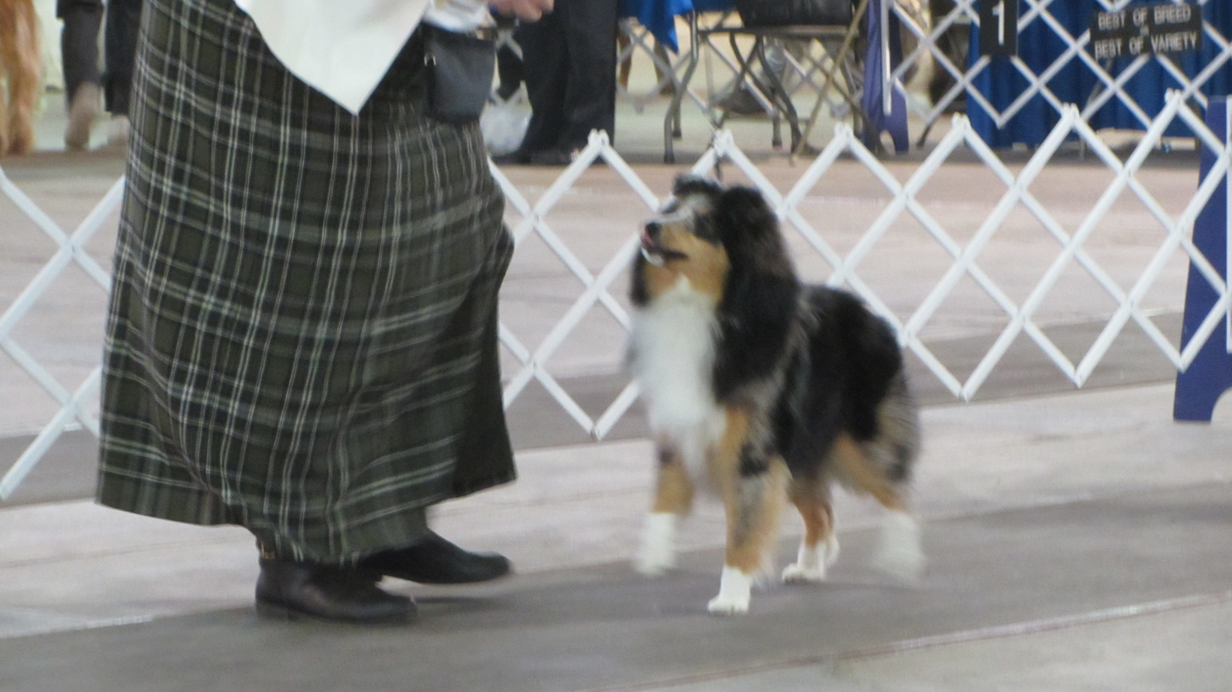 Wyndeway shetland sheepdogs presently i show in conformation rally obedience and all types of cgc events at akc ckc ukc events as well as canadian and american shetland sheepdog nvjuhfo Images