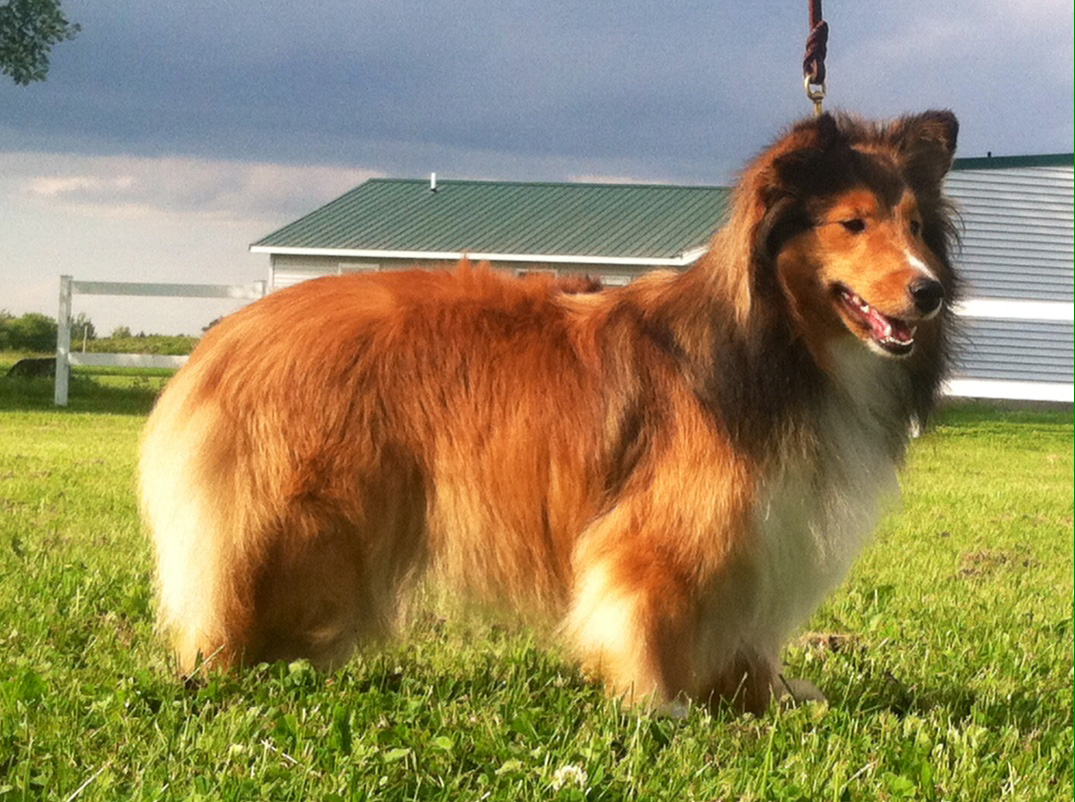 Wyndeway shetland sheepdogs we are located in alexandria bay which is approximately 90 miles north of syracuse ny and just 5 minutes from the saint lawrence river as well as 15 nvjuhfo Images