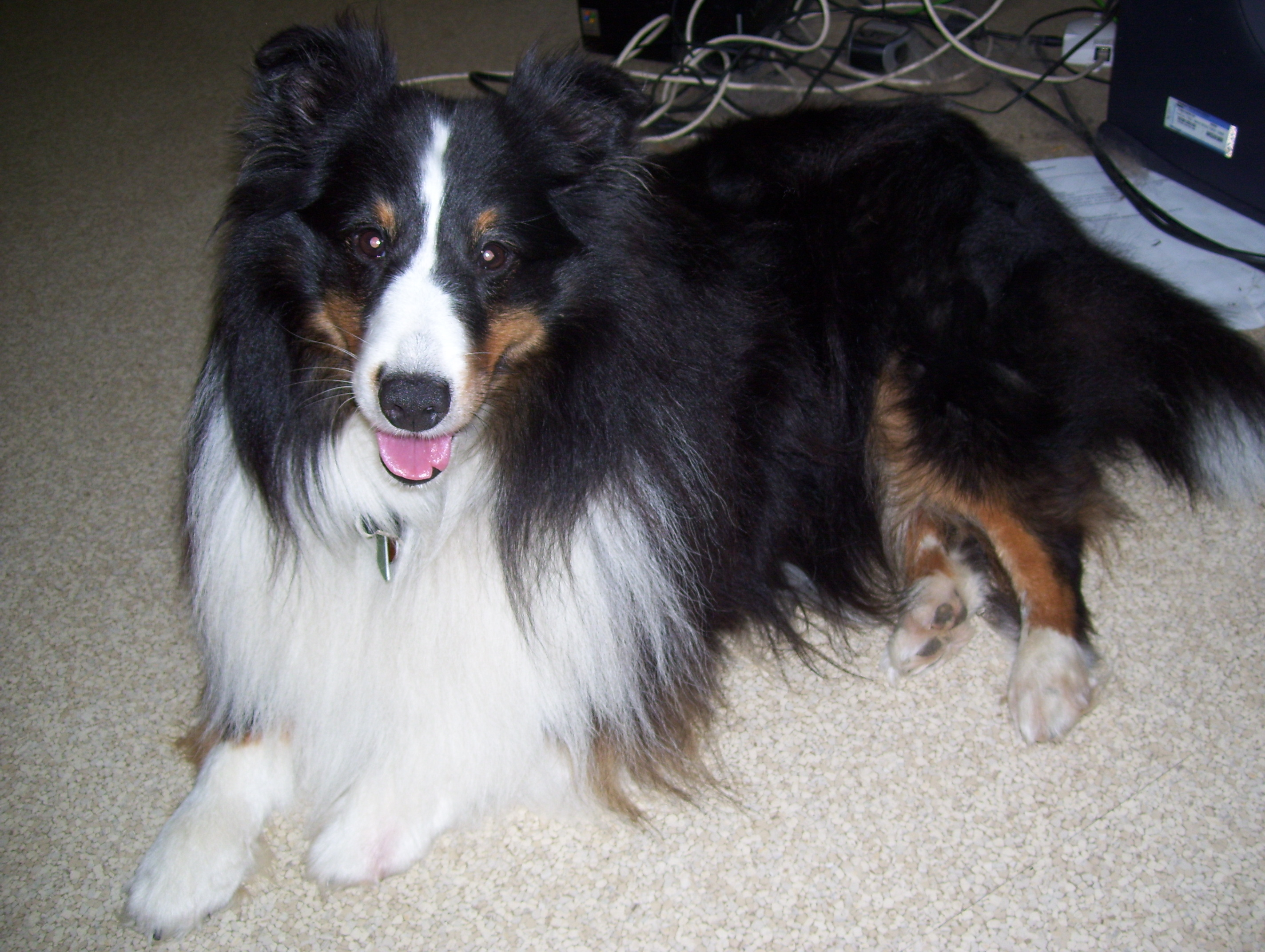 Wyndeway shetland sheepdogs we are a small breeder of shetland sheepdogs and we breed in accordance to the american shetland sheepdog association standard which can be found at nvjuhfo Images
